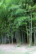 65821-00212 Giant Bamboo (Bambusa oldhamii)  Sarah P. Duke Gardens, Durham, NC