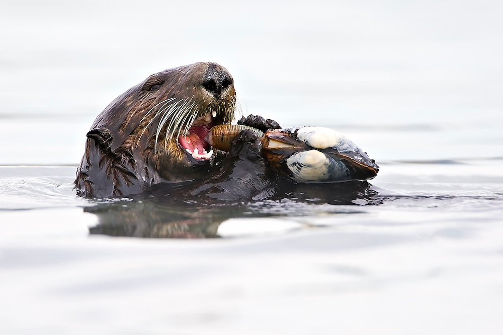 A sea otter (Enhydra lutris) uses its exceptionally adapted and sharp teeth to bite into a pacific .razor clam (Siliqua patula) it has found on the sea floor off the coast of northern California