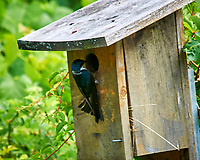 Tree Swallow. Sourland Mountain Preserve. Image taken with a Nikon D300 camera and 80-400 mm VR lens.