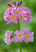 Close-up of a single flower spike of a Candelabra primula hybrid growing in West Acre Gardens in Norfolk