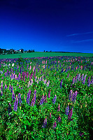 Lupins near North Granville, Prince Edward Island, Canada