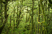 Moss covered forest on Routeburn Track in New Zealand
