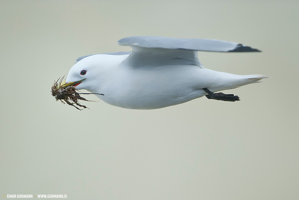 In the middle of May, the Kittiwakes gather all kinds of grass for the nest. This is taken in Grimsey, Iceland..In North America, this species is known as the Black-legged Kittiwake  in order to differentiate it from the Red-legged Kittiwake, but in Europe, where it is the only member of the genus, it is often known just as Kittiwake.