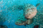 Goliath Grouper, Epinephelus itajara, gather next to the Mispah shipwreck offshore Singer Island, Florida, United States, during a spawning aggregation in August 2014. Fish with spawning coloration. Image available as a premium quality aluminum print ready to hang.