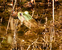 Kermit the Bullfrog (Green Frog) in the pond. Image taken with a Nikon 1 V3 camera and 70-300 mm VR lens.