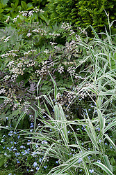 Anthriscus sylvestris 'Ravenswing' with forget-me-nots