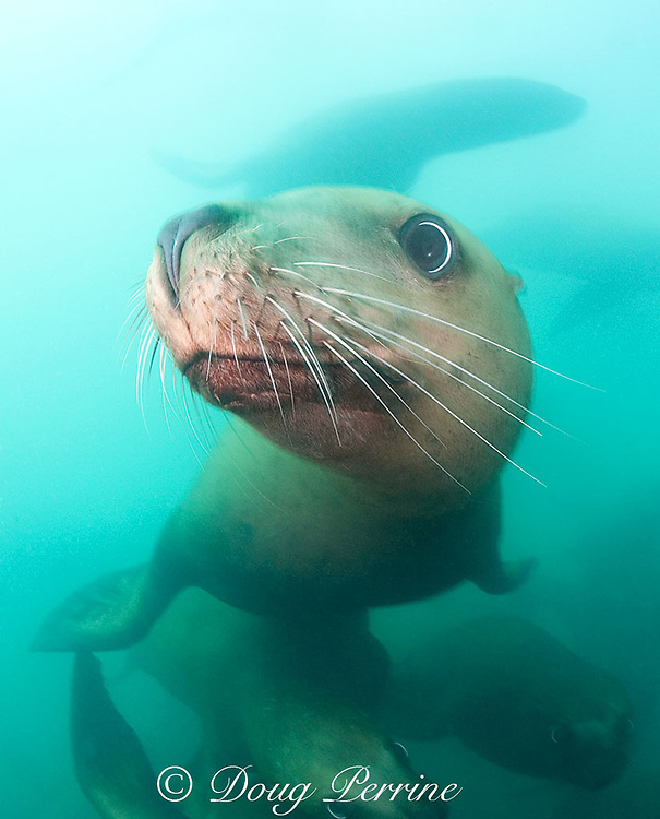 Steller's sea lions, or Steller sea lion, or northern sea lion, Eumetopias jubatus (an Endangered Species in the western part of its range, and Threatened in the eastern portion), Glacier Island, Columbia Bay, Alaska ( Prince William Sound )
