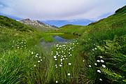 Scheuchzer's cottongrass (Eriophorum scheuchzeri), white cottongrass. Moor (Auge Gottes), High Tauern National Park (Nationalpark Hohe Tauern), Central Eastern Alps, Austria | Scheuchzers Wollgras (Eriophorum scheuchzeri), auch Alpen-Wollgras genannt. Auge Gottes, Nationalpark Hohe Tauern, Osttirol in Österreich
