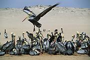 Peruvian Pelivans nesting on Beach<br />Pelecanus thagus<br />Lobos de Tierra, PERU,  South America<br />RANGE: Pacific Coast of S. Ecuador to S. Chile