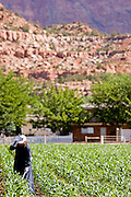 """June 16, 2008 -- COLORADO CITY, AZ: A member of the Jessop family talks on her cell phone while she weeds the community corn plot in Colorado City, AZ. The Jessops are a polygamous family and members of the FLDS. Colorado City and neighboring town of Hildale, UT, are home to the Fundamentalist Church of Jesus Christ of Latter Day Saints (FLDS) which split from the mainstream Church of Jesus Christ of Latter Day Saints (Mormons) after the Mormons banned plural marriage (polygamy) in 1890 so that Utah could gain statehood into the United States. The FLDS Prophet (leader), Warren Jeffs, has been convicted in Utah of """"rape as an accomplice"""" for arranging the marriage of teenage girl to her cousin and is currently on trial for similar, those less serious, charges in Arizona. After Texas child protection authorities raided the Yearning for Zion Ranch, (the FLDS compound in Eldorado, TX) many members of the FLDS community in Colorado City/Hildale fear either Arizona or Utah authorities could raid their homes in the same way. Older members of the community still remember the Short Creek Raid of 1953 when Arizona authorities using National Guard troops, raided the community, arresting the men and placing women and children in """"protective"""" custody. After two years in foster care, the women and children returned to their homes. After the raid, the FLDS Church eliminated any connection to the """"Short Creek raid"""" by renaming their town Colorado City in Arizona and Hildale in Utah.   Photo by Jack Kurtz"""