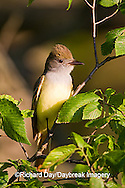 01240-006.16 Great Crested Flycatcher (Myiarchus crinitus) in tree, Marion Co. IL