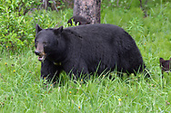 Black Bear - Ursus americanus - adult female with young