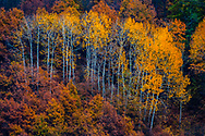 Small forest of aspen trees in autumn time