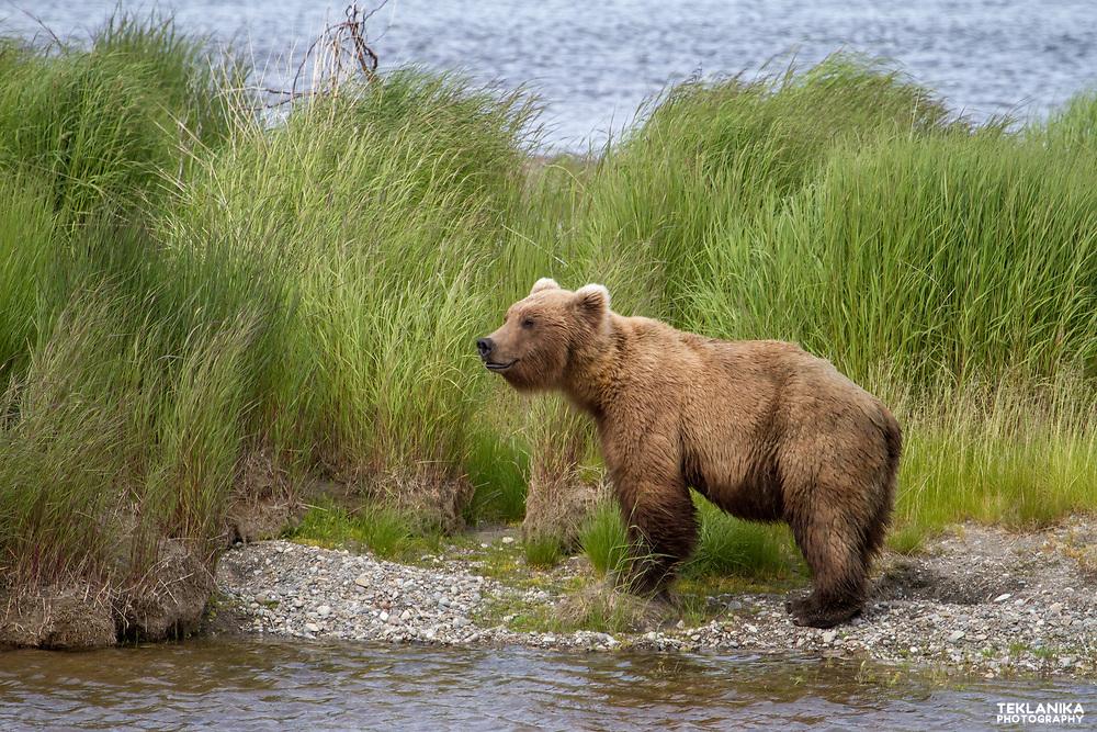 An Alaska brown bear pauses while fishing.