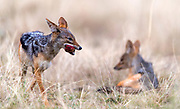 Black-backed jackals (Canis mesomelas) have nicked a piece of meat from a lion kill in Maasai Mara, Kenya.