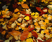 American beech, quaking aspen, birch and red oak leaves with shite pine needles in granite pool, Sculptured Rocks of the Cockermouth River, New Hampshire.