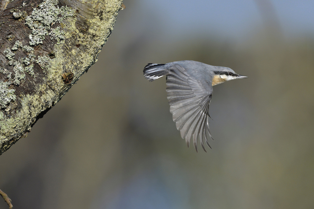Nuthatch - Sitta europaea. L 14cm. Dumpy, short-tailed woodland bird that often descends tree trunks head-first. Sexes are similar. Adult has blue-grey upperparts, black eyestripe, white cheeks and orange-buff underparts; on average, males are more reddish buff on flanks than females. Juvenile is similar but duller. Voice Utters a loud zwiit, repeated if bird is agitated. Song is a series of whistling notes. Status Fairly common resident of deciduous and mixed woodland, and gardens, mainly in England and Wales.