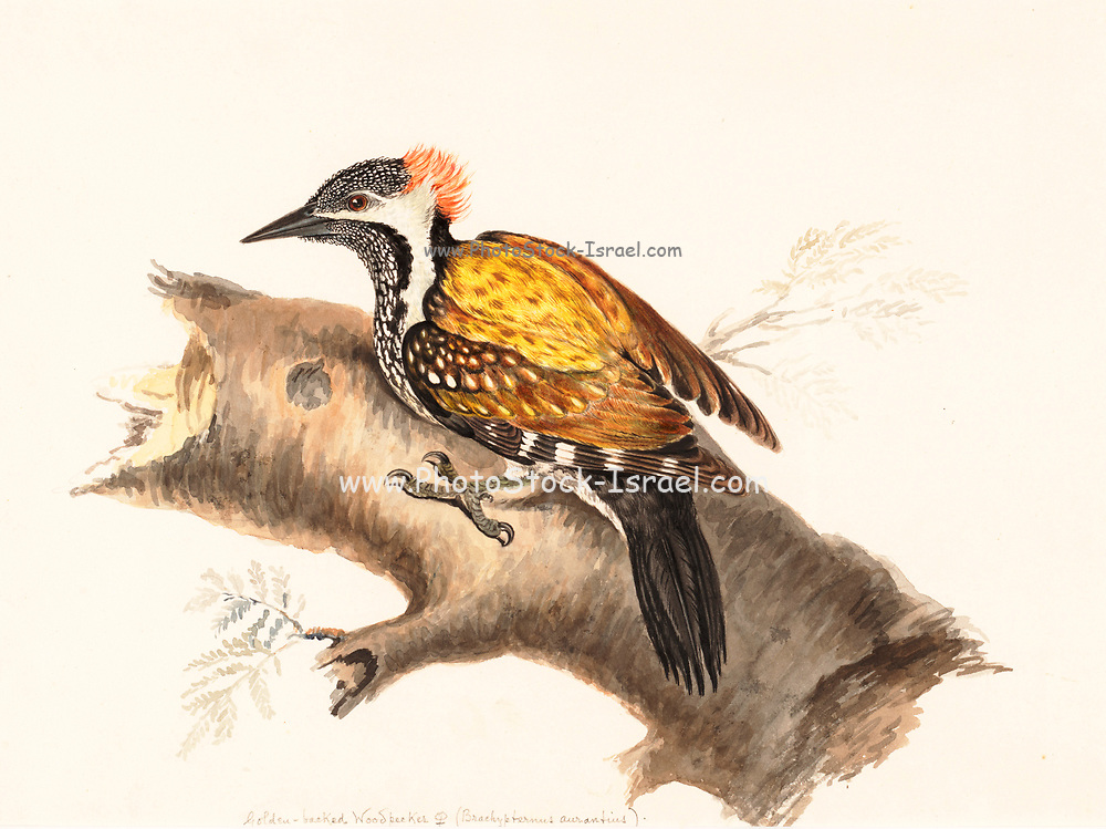 The black-rumped flameback (Dinopium benghalense), also known as the lesser golden-backed woodpecker or lesser goldenback, is a woodpecker found widely distributed in the Indian subcontinent. It is one of the few woodpeckers that are seen in urban areas. It has a characteristic rattling-whinnying call and an undulating flight. It is the only golden-backed woodpecker with a black throat and a black rump. 18th century watercolor painting by Elizabeth Gwillim. Lady Elizabeth Symonds Gwillim (21 April 1763 – 21 December 1807) was an artist married to Sir Henry Gwillim, Puisne Judge at the Madras high court until 1808. Lady Gwillim painted a series of about 200 watercolours of Indian birds. Produced about 20 years before John James Audubon, her work has been acclaimed for its accuracy and natural postures as they were drawn from observations of the birds in life. She also painted fishes and flowers. McGill University Library and Archives