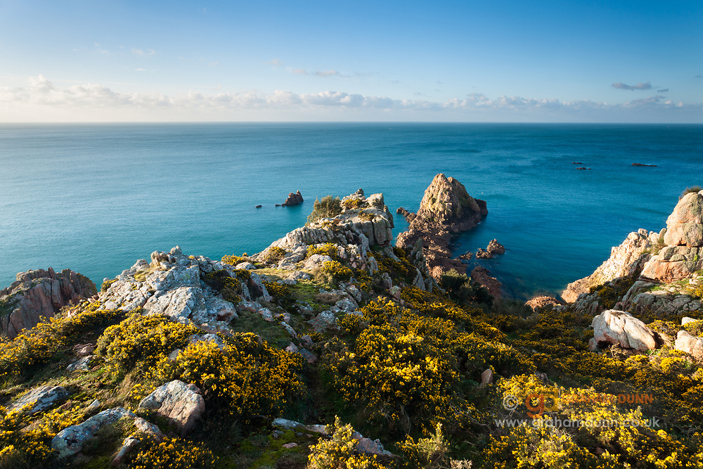 Flowering gorse catches the first light of day above Fiquet Bay on the south coast of Jersey. Channel Islands, UK.