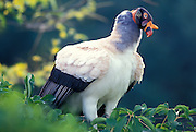 Portrait of a king vulture (Sarcoramphus papa). Range: tropical Mexico to north Argentina. Captive, 1996