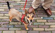 Nederland, den Haag, 27 sept  2011.Aangelijnd hondje met tuigje op het Plein in den Haag..Foto(c): Michiel Wijnbergh