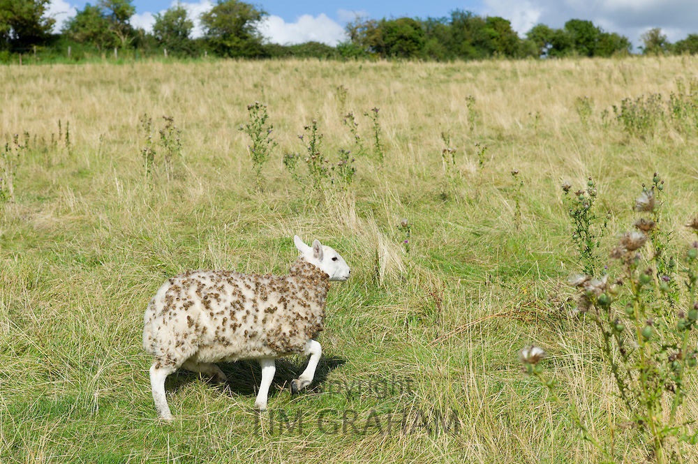 Sheep with woolly fleece matted with seeds and burrs in meadow in The Cotswolds, Oxfordshire, UK