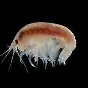 Amphipod taken from the waters of the Arctic Ocean.