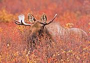 Alaska. Moose (Alces alces) in fall foilage at Denali Natl. Park.