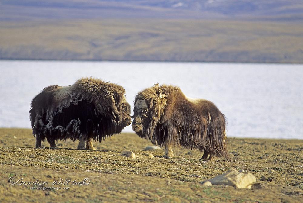 "NUNAVUT, CANADA. Musk oxen (Ovibos moschatus) near Eureka, Ellesmere Island (Inuit name: Oomingmak, ""animal with skin like a beard"")."