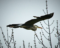 Great Blue Heron. Sourland Mountain Preserve. Image taken with a Nikon D300 camera and 80-400 mm lens.