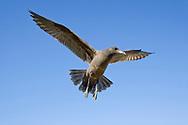 Heermann's Gull - Larus heermanni - 2nd winter
