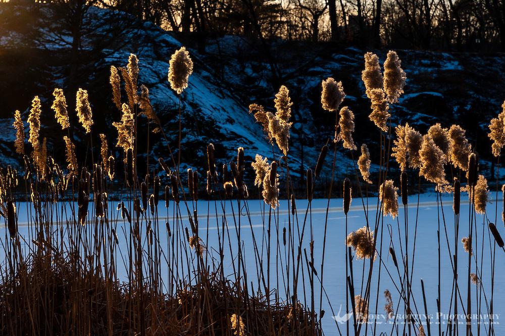 US, New York City, Central Park. Harlem Meer at sunset. Common Cattail, or Bulrush.