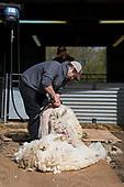 19.04.27 - Stone Barns Sheep Shearing