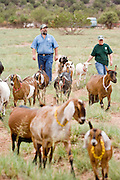 July 26, 2008 -- SNOWFLAKE, AZ: DAVID HEININGER and his wife, KATHRYN HEININGER, walk their dairy goats through the pastures on Black Mesa Ranch, their 280 acre spread in the high desert near Snowflake, AZ. Their dairy goats are raised by hand and the Heiningers walk them out to the pastures every day. The ranch owners, David and Kathryn Heininger, run a herd of about 40 Nubian dairy goats and hand make artisan cheese from the goat's milk. It's a second gear for them, they retired from Tucson, AZ, where they bought and renovated  historic homes. The moved to the ranch in 2001 and started making and selling cheese shortly after the move. Their cheese is used in expensive restaurants in Phoenix and sold at natural food stores in Arizona. PHOTO BY JACK KURTZ