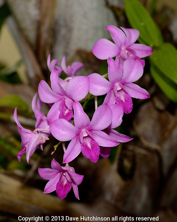 USA: Florida: Broward County: Fort Lauderdale: A colorful purple orchid at the Alhambra Beach Resort swimming pool, just steps from the beach north of Las Olas in Fort Lauderdale.