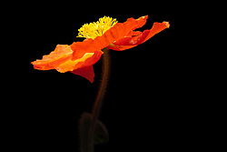 A Red Poppy shown against a dark background. This image also crops to a Square format well. Oriental Poppies have a very interesting texture throughout their life cycle, and offer interest in the garden in every season.