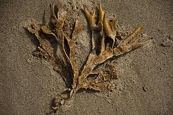 Dead Rockweed (Fucus vesiculosus), Kalaloch Beach 4, Olympic National Park, Washington, US
