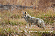 01864-03412 Coyote (Canis latrans) Yellowstone National Park, WY