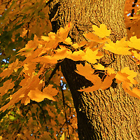 """""""Focus on Yellow""""<br /> <br /> All the beauty of pure sunbathed Maple leaves in full autumn glory!!<br /> <br /> Fall Foliage by Rachel Cohen"""