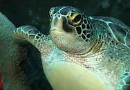 Green Sea-turtle - Chelonia mydas