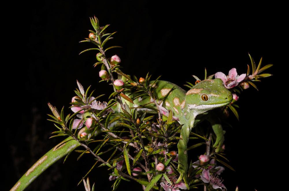 Northland green gecko, Naultinus grayii