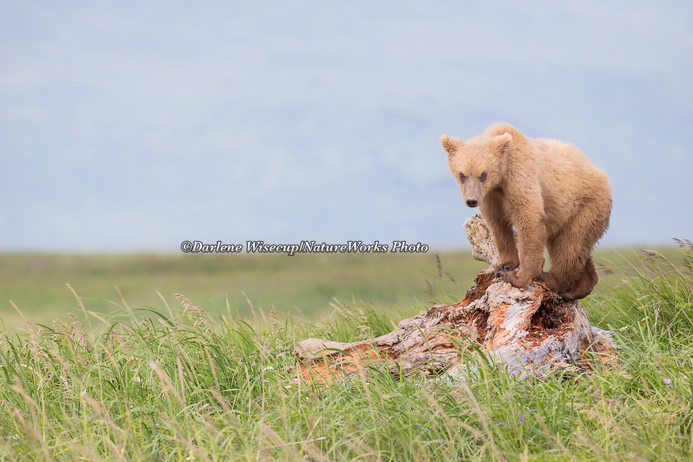 A brown bear yearling cub stands on a log to get a better view of his surroundings in Hallo Bay, Katmai National Park