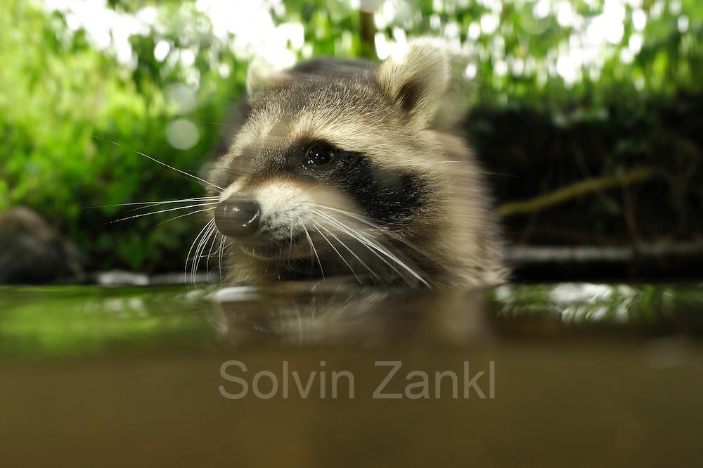 [captive] Raccoon (Procyon lotor) | Waschbär (Procyon lotor)