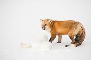 01871-02905 Red Fox (Vulpes vulpes) eating Arctic Fox (Alopex lagopus) at Cape Churchill, Wapusk National Park, Churchill, MB