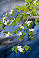 Dogwood blossoms in spring along the Merced River, Yosemite Valley, Yosemite National Park, California