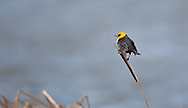 Photo Randy Vanderveen.Grande Prairie , Alberta.10-05-12 .A yellow-headed blackbird perches on a cattail calling out in Crystal Lake Park on Grande Prairie's northside. The birds heads give them a very distinctive appearance.