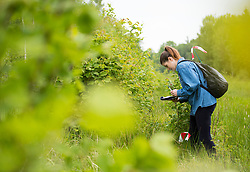 Volunteer surveying the dispersal of Chequered skippper butterfly after being released, part of the Back from the Brink project to reintroduce this species to England, Northamptonshire, May