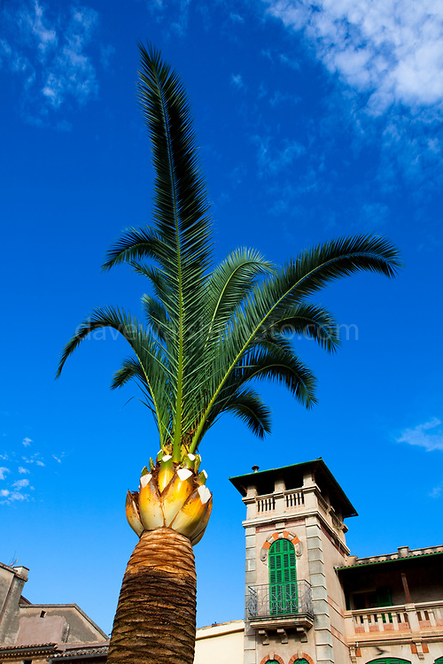 Palm tree, Soller, Mallorca, and on the west coast of the island.