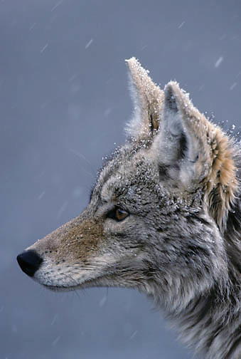 Coyote (Canis latrans) portrait in the winter.