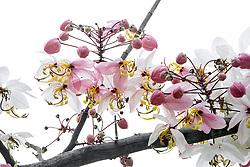 Cassia Bakeriana Pink Shower Wishing Tree#5